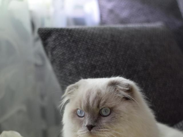 Кошка. Шотландская вислоухая (длинношерстная). Вязка в Ногинске