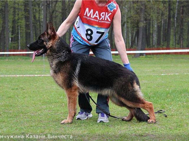 Собака. Немецкая овчарка. Продаю в Казани