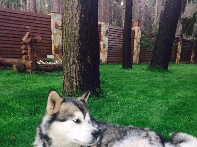 Собака. Аляскинский маламут . Вязка в Раменском
