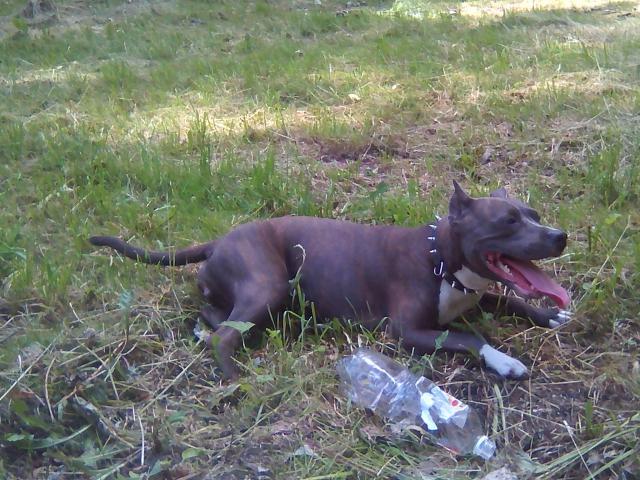 Собака. Американский стаффордширский терьер. Вязка в Новокузнецке