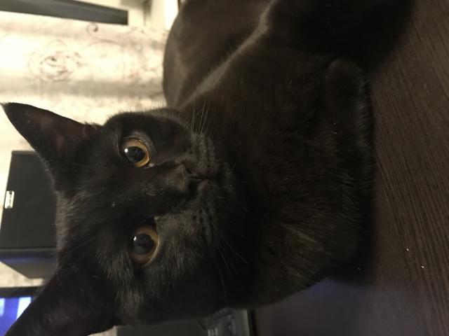 Кошка. Британская короткошерстная. Вязка в Самаре