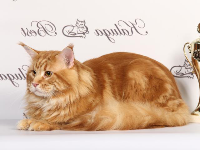 Кошка. Мэйн-кун . Вязка в Калуге