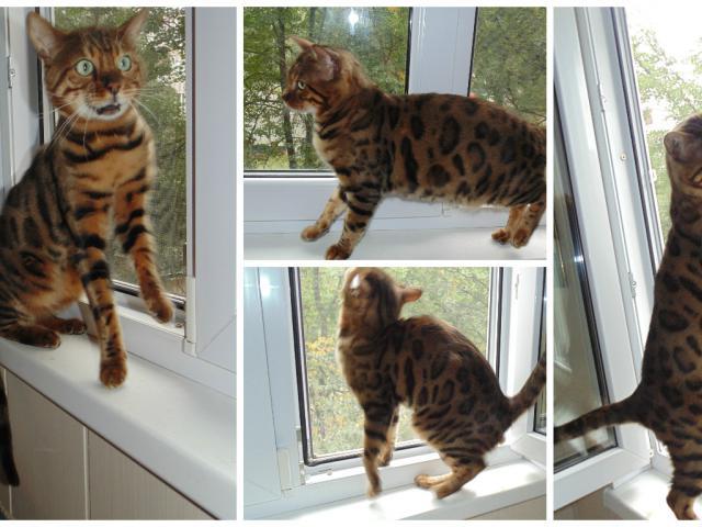 Кошка. Бенгальская короткошерстная. Вязка в Москве