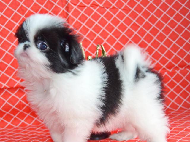 Японский хин частные объявления щенки продажа москва 2010 гдекабрь грузоперевозки г.протвино частные объявления