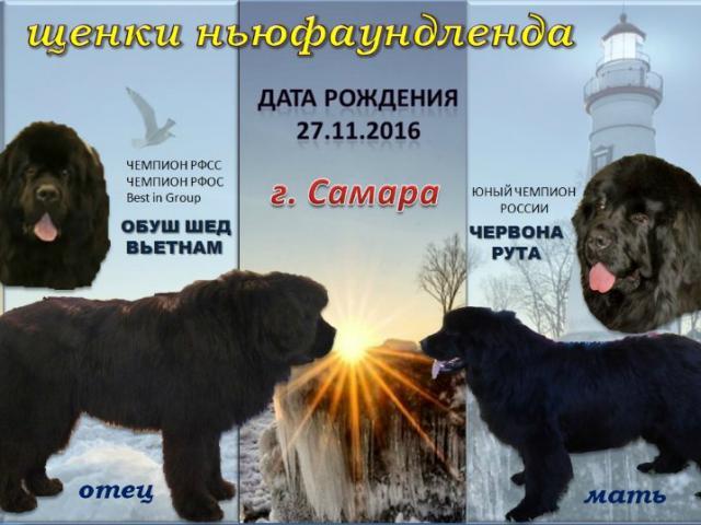 Собака. Ньюфаундленд. Продаю в Москве
