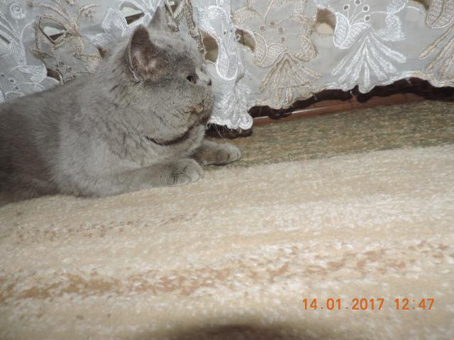 Кошка. Британская короткошерстная. Отдам в дар в Ставрополе