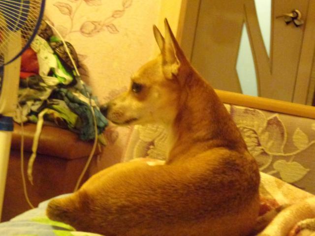 Собака.  Бeспородные и метисы . Вязка в Омске