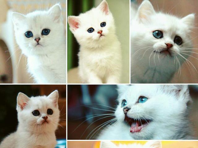Кошка. Британская короткошерстная. Продаю в Солнечногорске