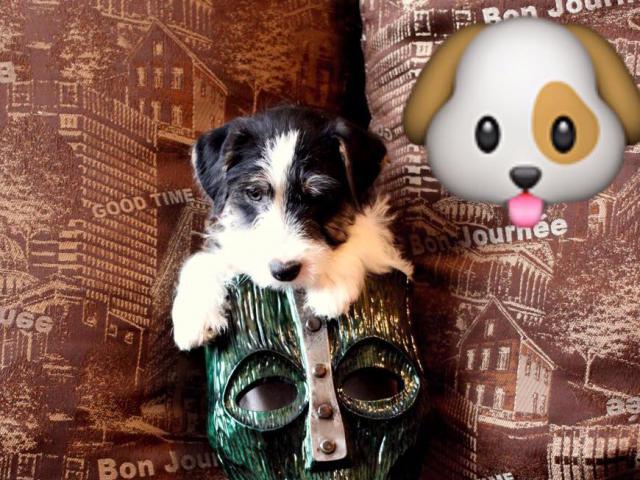 Собака. Джек Рассел терьер. Продаю в Новосибирске