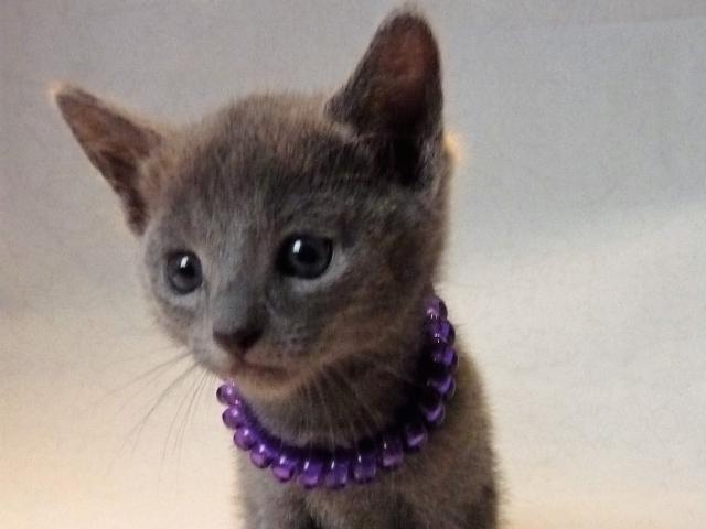 Кошка. Русская голубая. Продаю в Москве