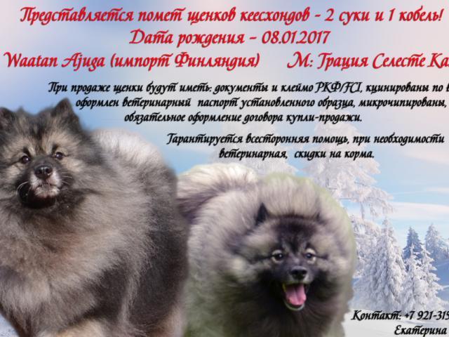 Собака. Немецкий шпиц волчий. Продаю в Санкт-Петербурге