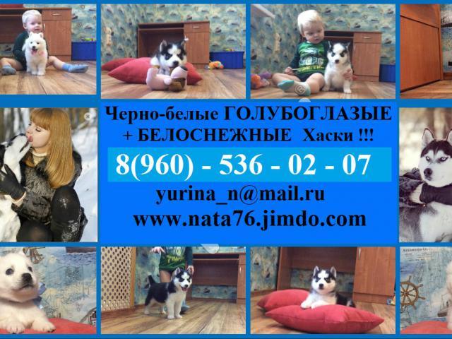 Собака. Сибирский хаски . Продаю в Москве