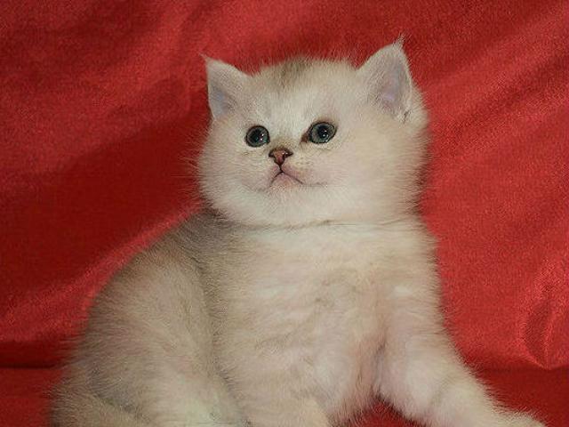 Британские котята серебристые шиншиллы