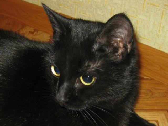 Кошка.  Беспородные и метисы . Потеря/Находка в Краснодаре