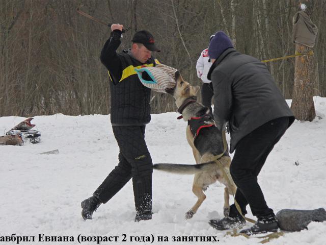 Собака. Восточноевропейская овчарка . Продаю в Гомеле