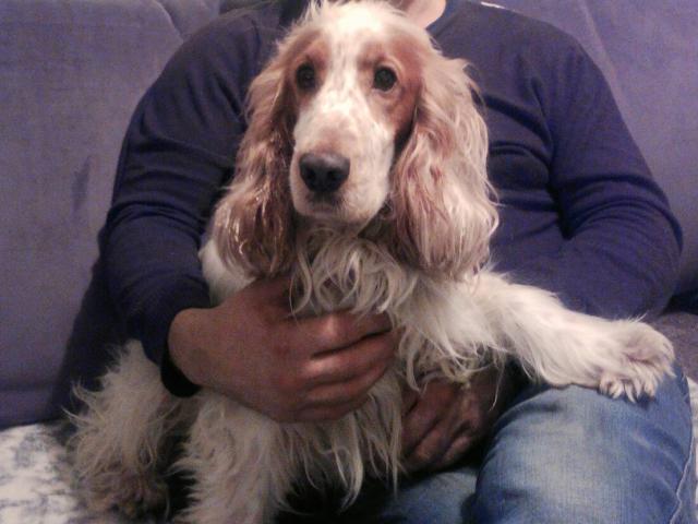 Собака. Английский кокер спаниель. Вязка в Челябинске