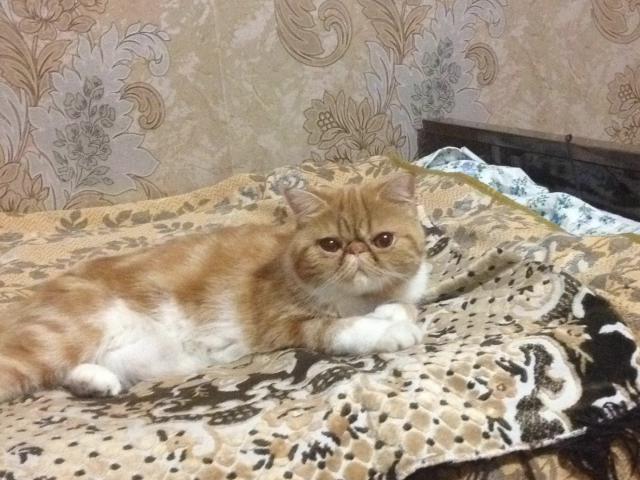 Кошка. Экзотическая (короткошерстная). Вязка в Красноярске