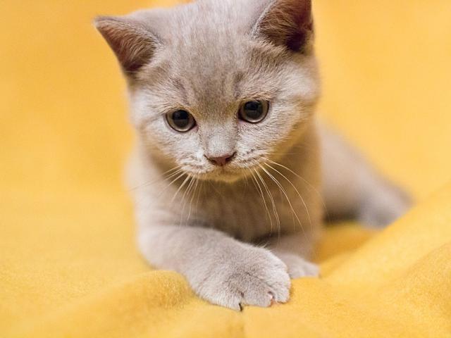Кошка. Британская короткошерстная. Продаю в Мытищах