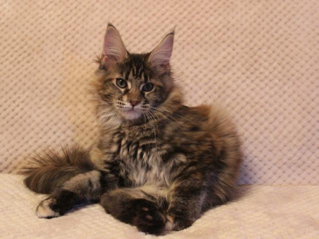 Кошка. Мэйн-кун . Продаю в Краснодаре