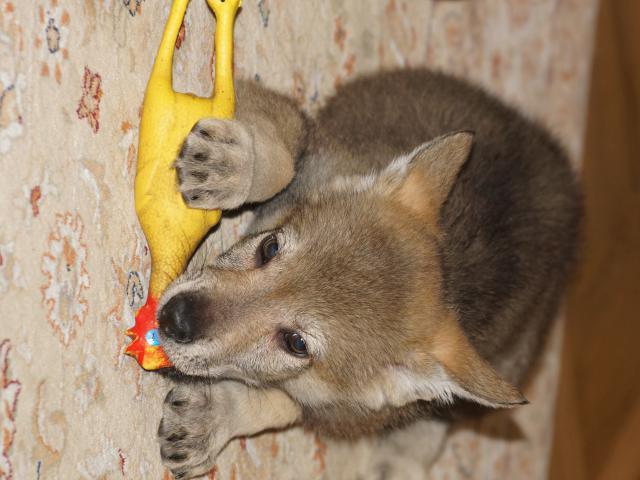 Собака. Чехословацкий влчак. Продаю в Рязани