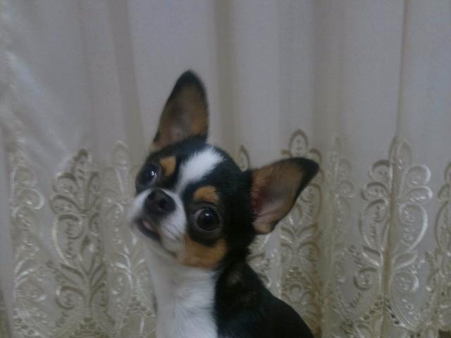 Собака. Чихуахуа . Вязка в Краснодаре