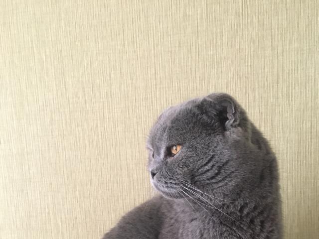 Кошка. Британская короткошерстная. Потеря/Находка в Краснодаре