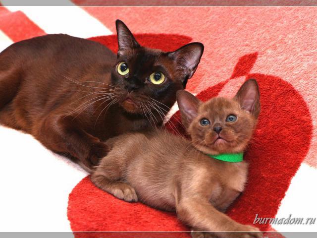 Кошка. Бурманская . Продаю в Самаре