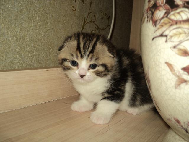 Кошка. Шотландская вислоухая (короткошерстная). Продаю в Волгограде