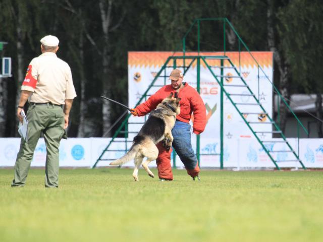 Собака. Восточноевропейская овчарка . Продаю в Армавире