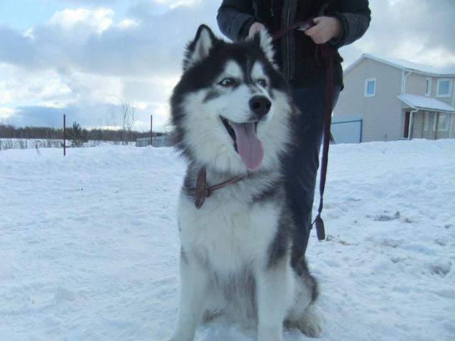 Собака. Аляскинский маламут . Отдам в дар в Москве
