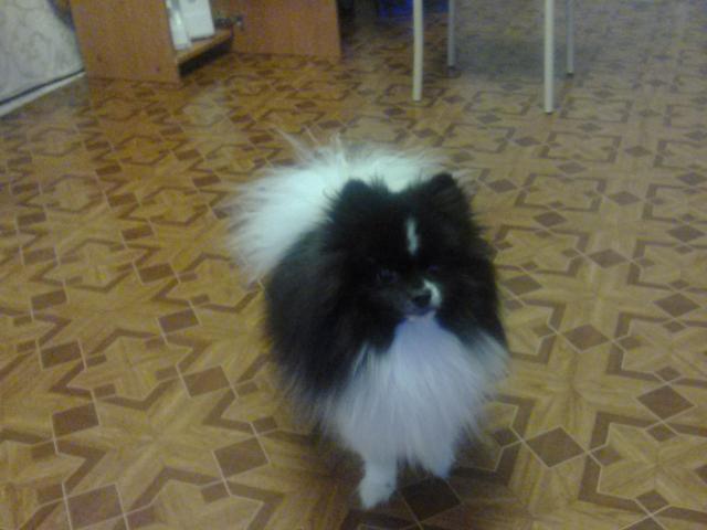 Собака. Немецкий шпиц карликовый (померанский). Вязка в Томске