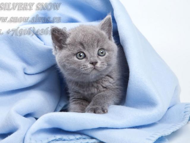 Голубые британские котята. От Заводчика.