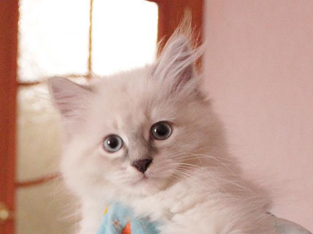 Кошка. Невская маскарадная. Продаю в Санкт-Петербурге