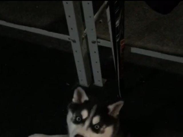 Собака. Сибирский хаски . Продаю в Новосибирске