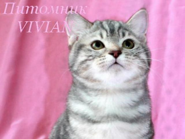 Британский котик голубой мрамор из питомника.