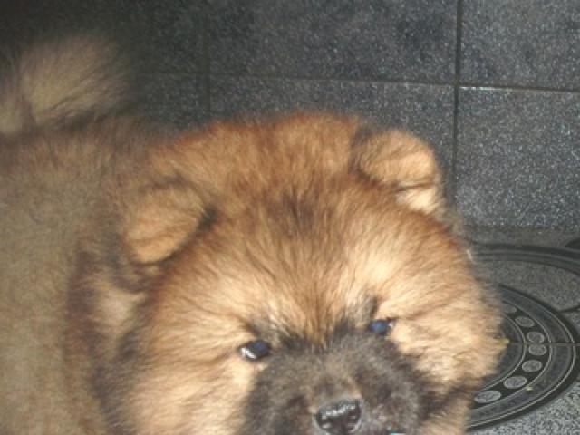 Собака. Чау чау . Продаю в Москве