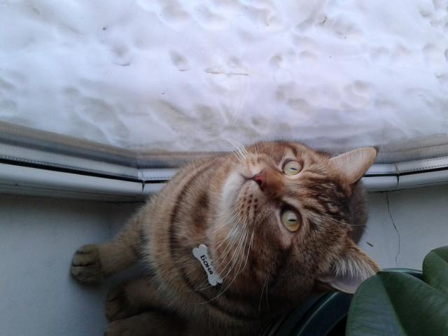 Кошка. Скоттиш-страйт. Вязка в Ногинске