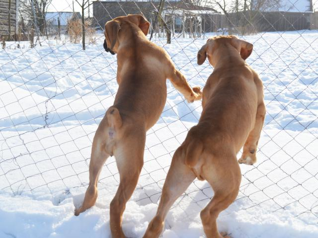 Собака. Южноафриканский бурбуль . Продаю в Гомеле