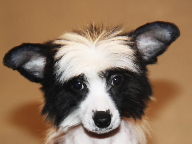 Собака. Китайская хохлатая собака . Продаю в Москве