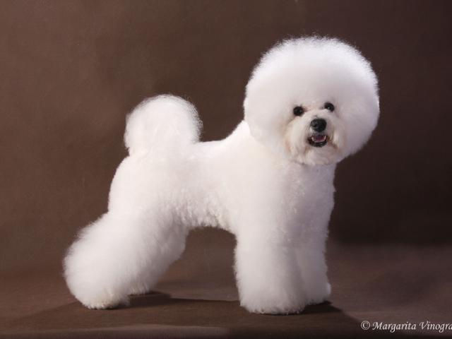 Собака. Бишон фризе. Вязка в Москве