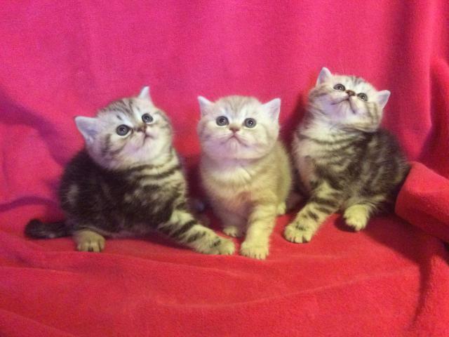 Кошка. Британская короткошерстная. Продаю в Нижнем Новгороде