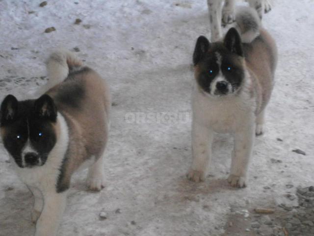 Собака. Большая японская собака (американская акита)    . Продаю в Самаре
