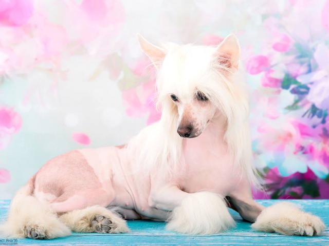 Собака. Китайская хохлатая собака . Продаю в Омске