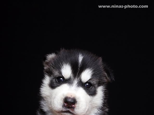 Собака. Сибирский хаски . Продаю в Тамбове