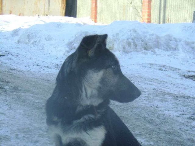 Собака. Восточноевропейская овчарка . Продаю в Челябинске
