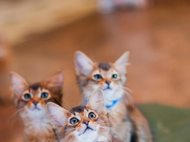 Кошка. Сомалийская. Продаю в Санкт-Петербурге