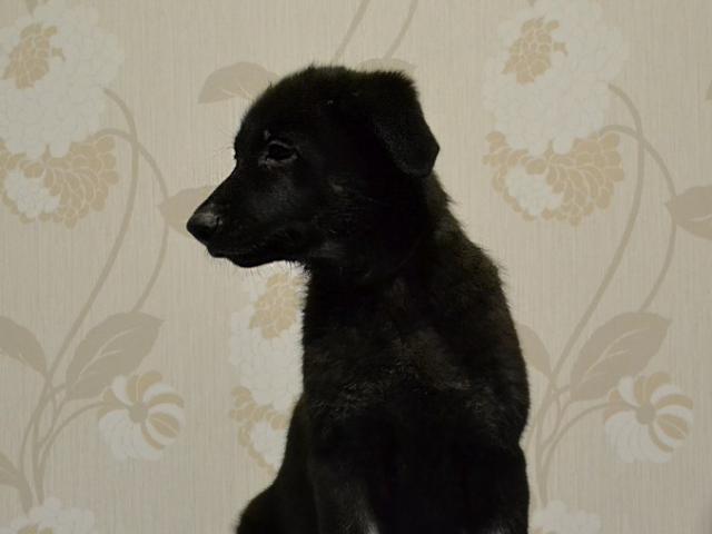 Собака. Восточноевропейская овчарка . Продаю в Москве