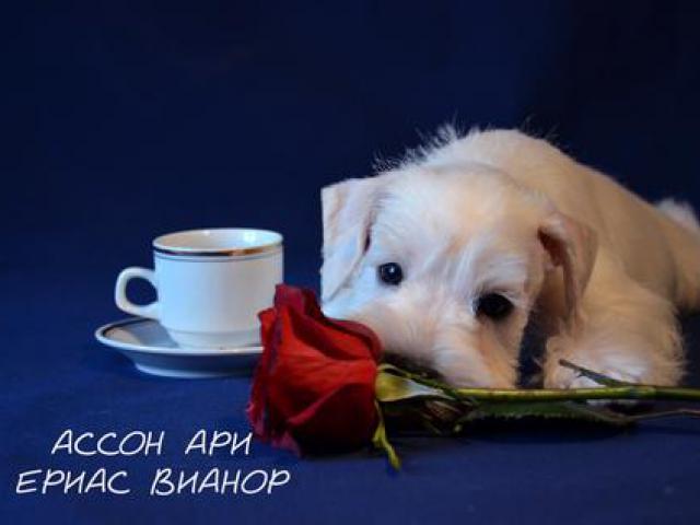 Собака. Цвергшнауцер. Продаю в Минске