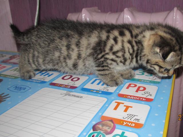 Кошка. Скоттиш-страйт. Продаю в Нижнем Новгороде
