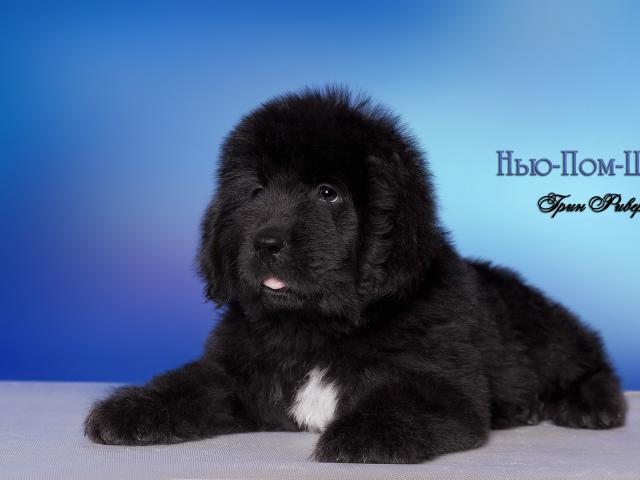 Собака. Ньюфаундленд. Продаю в Нижнем Новгороде